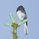 Dark-eyed Junco(Junco hyemalis) perched on a Cactus