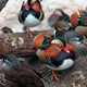 Detail photo of Mandarin Ducks