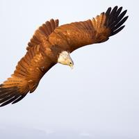 Diving Eagle in Air