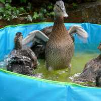 Duck and Ducklings in the pool