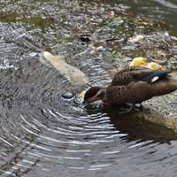 Duck Drinking Water