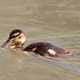 Duckling swimming through the water