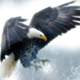 Eagle coming down with grasping claws