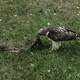 Eagle eating slain bird
