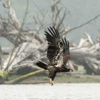 Eagle in flight over the water