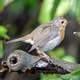 European Robin on a branch