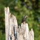 European Starling on a tree stump