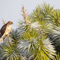 Falcon on pine tree