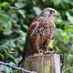 Falcon standing on a post