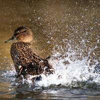 Female Mallard Duck Making a Splash