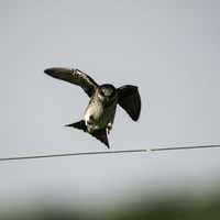 Female Purple Martin landing