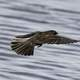 Female Red-Winged Blackbird in flight -- Agelaius phoeniceus