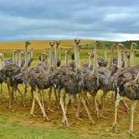 Flock of Ostriches in the landscape