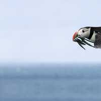 Flying Puffin with fish in mouth
