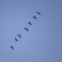 Geese flying in a row