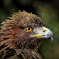 Golden Eagle headshot - Aquila chrysaetos