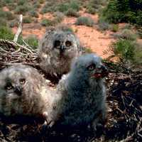 Rocky Mountain Great Horned Owl Chicks -- Bubo virginianus