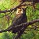 Great horned owl in the branches