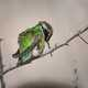 Green Hummingbird on Branch
