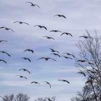 Group of Geese in flight