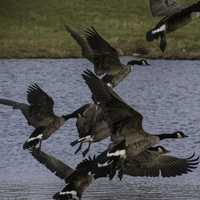 Group of Geese Taking Flight
