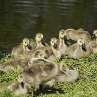Group of Goslings in the sun