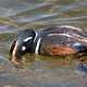 Harlequin Duck Foraging Underwater