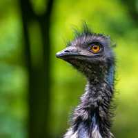 Head shot of an Emu