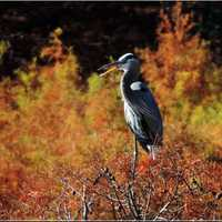 Heron standing in the Foilage