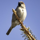 House Sparrow on pine tree