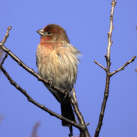House Finch Male on branch