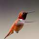 Hummingbird quickly flapping its wings
