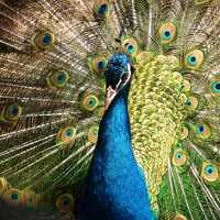 Indian Peacock - Pavo cristatus