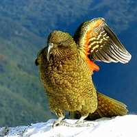 Kea Wing in New Zealand