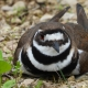 Killdeer sitting down -- Charadrius vociferus