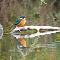 Kingfisher standing on Branch in the middle of the pond