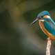 Kingfisher standing on limb