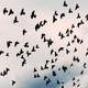 Large Flock of Pigeons in the Air