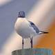 Laughing Gull - Leucophaeus atricilla - standing on a post