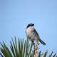 Loggerhead shrike standing on tree