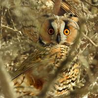 Long Eared Owl in the Branches