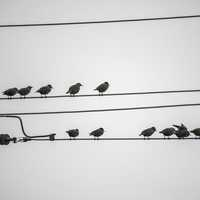 Many small birds perched on the telephone wire