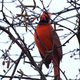 Northern Cardinal among branches