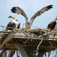 Ospreys in the nest