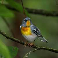Parula Warbler on Branch