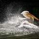 Pelican Splashing in the Water