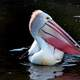 Pelican with colorful beak