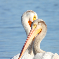 Pelicans Grooming Each Other