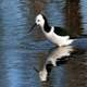 Pied Stilt walking in the water