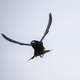 Purple Martin in Flight - Progne subis